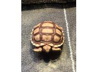 Tortoise £79