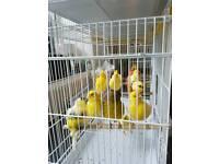 Aviary birds for sale