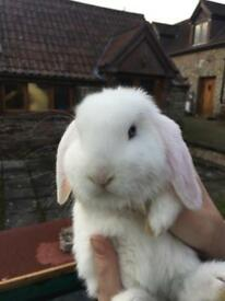 2 mini lop rabbits for Sale with their hutch