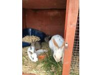 Baby rabbits for sale. Ready first week in july