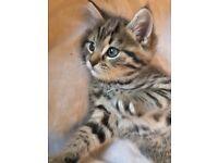 Cute Bengal Cross kittens 8 weeks