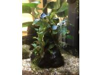 Bucephalandra wavy green rare aquarium plant