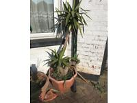 Large yucca in plastic pot
