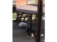Rabbit and guinea pig boarding in Southampton. Fully insured. Offering home from home service.