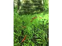 Cherry shrimps