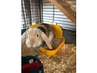 Gorgeous 5mth old male lop ear rabbit and cage
