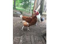 Variety of chickens/hens for sale