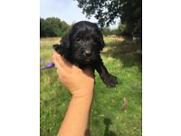 Stunning Sproodle puppies ready Now!!! Like cockapoo