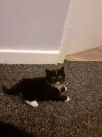 1boy boy Ragdoll cross kitten