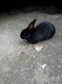 Large female rabbit
