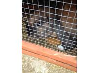 8 month old female rabbit and hutch