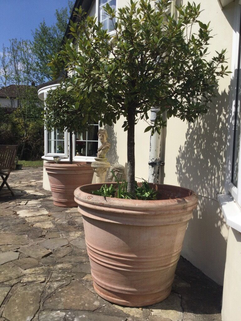 Huge Terracotta Pot Planters With Bay Trees In Newport