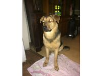 9 month old German shepherd x Rottweiler for sale