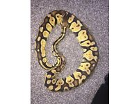 2 snakes ROYAL PYTHON AND SUPER PASTEL