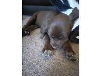 Kelpie cross Springer pups 5 remaining 4 girls 1 boy.