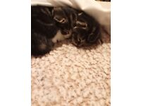 3 9 week old kittens