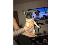 French bulldog (urgent sale)