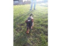 Miniture jack russel cross yorkshire terrier