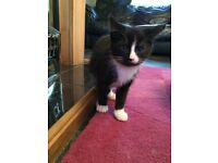Kitten 8 Wks Old (Male) £30