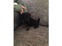 Tiny toy poodle X Yorkshire terrier (yorkiepoo) puppies