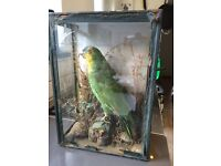 VICTORIAN TAXIDERMY GREEN PARROT, GLASS CASE (NEEDS RESEALING) POSSIBLY AMAZONIAN BIRD! LOVELY!