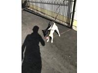 Jack Russel for sale 15 month old