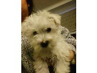 Last westiepoo puppies left !!