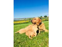 Gorgeous KC registered Fox Red Labrador Puppies