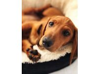 Superb quality, beautiful red, smoothcoat Dachshund puppies are looking for 5 star home
