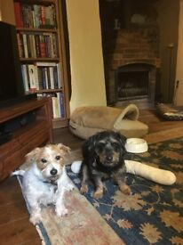 Lost: Two Norfolk Terrier crosses, Black/Tan and White/Tan - Substantial reward for safe return