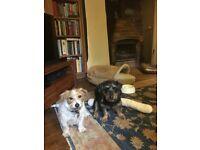 Lost: Two Norfolk Terrier crosses, Black/Tan and White/Tan - Substantial reward for safe return