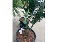Acer shishigashghrid plants