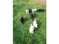 Black and yellow Labrador puppies