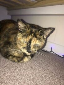 Tortoiseshell needs a loving home