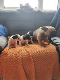 French bulldog X patterdale puppies for sale