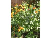 Helenium - Perennial Plants