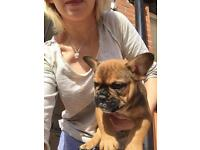 French bulldog pappy for sale