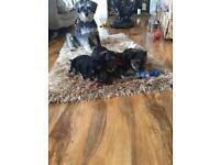 Shorkie puppy's
