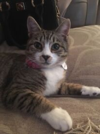 Lost cat, in Stewartstown Avenue area of Belfast, only 7mnthd old missing since Saturday 17th March