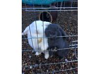 2 mini lop bunnies with hutch and accessories