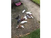 Beautiful mixed pigeon for sale