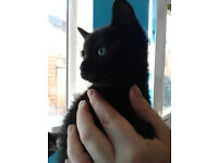 Male black Kitten for sale £30.00