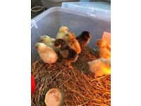 Beautiful baby chicks available now!