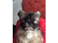 Shih tzu puppy 3 months old male