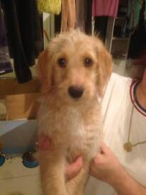 READY TODAY FOR OUR FOREVER HOMES Beautiful Cockerpoo X Labradoodle puppies for sale