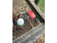 Two sliver laced Wyandotte chickens for sale