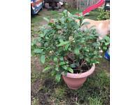 Large skinmia japonica Plant