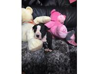 Staffy x American bulldog puppies