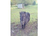 project shetland stallion