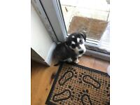 Husky x lurcher puppy